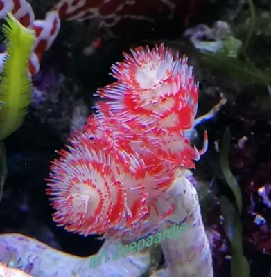 Protulla red white