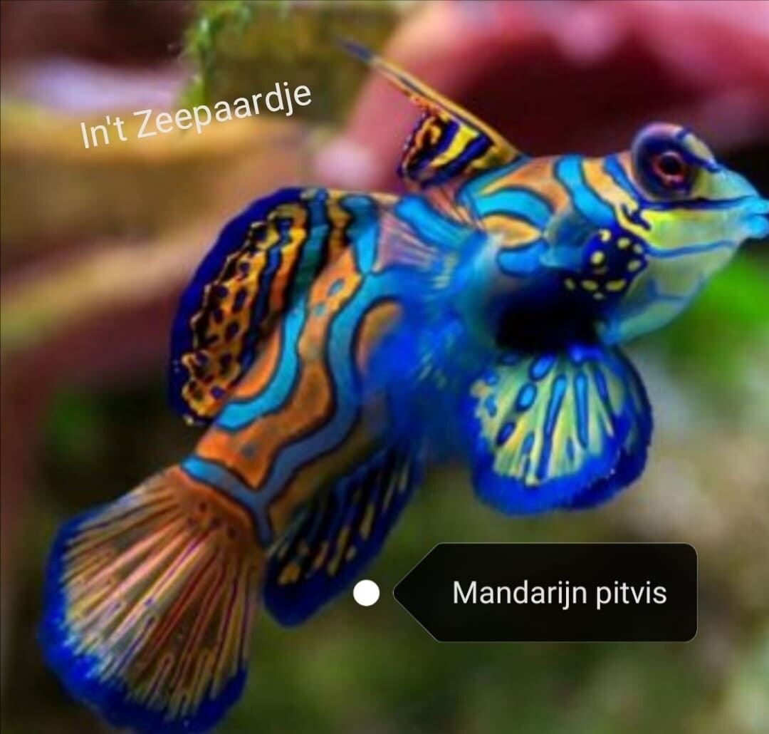 Manderijn pitvis