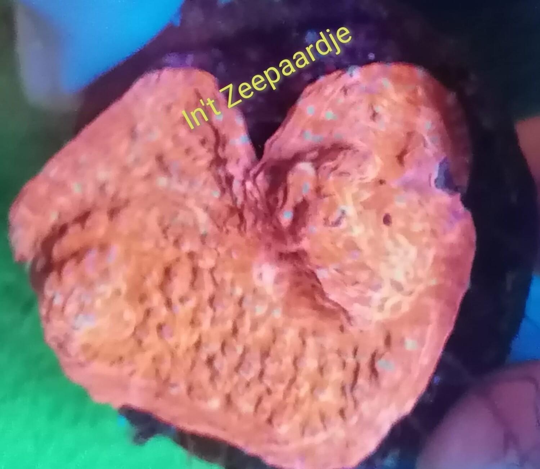 Echinopora ultra red