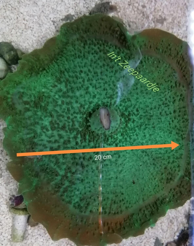 Amplexidiscus fenestrafer (olifantenoor)