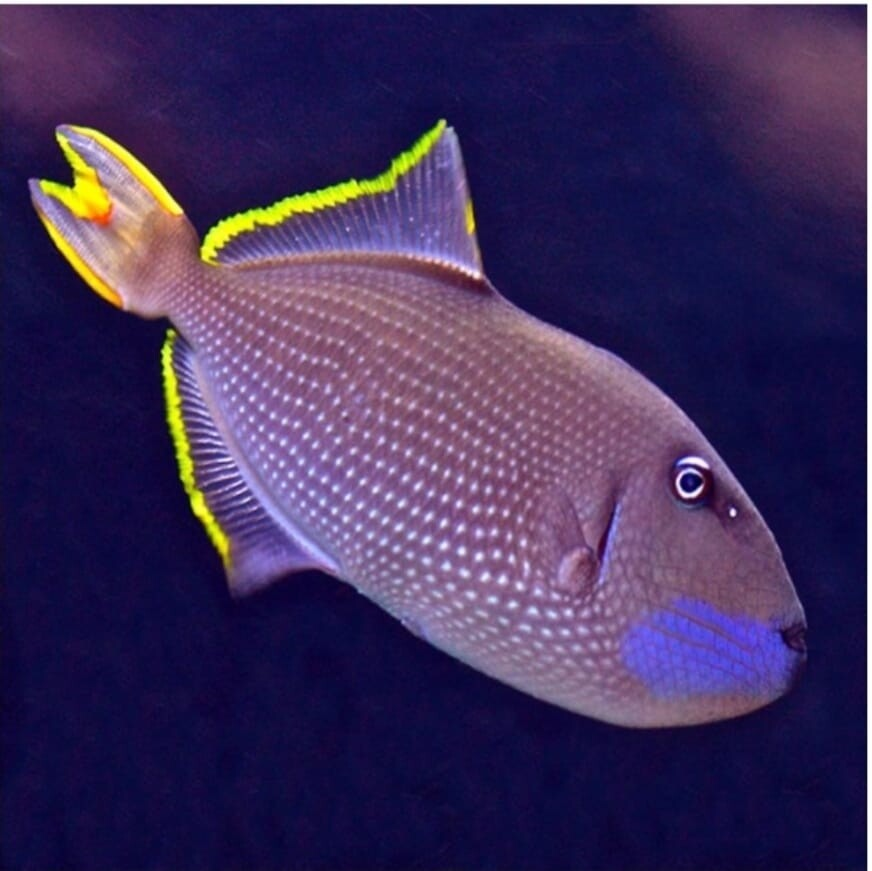 Xanthichthys Auromarginatus - Blauwkeel Trekkersvis