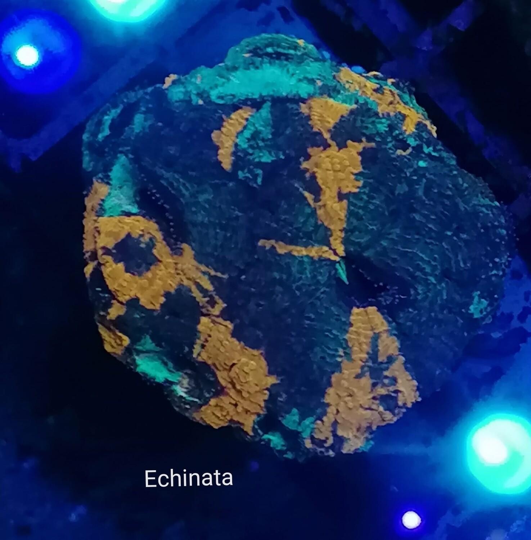 Acantastrea Echinata