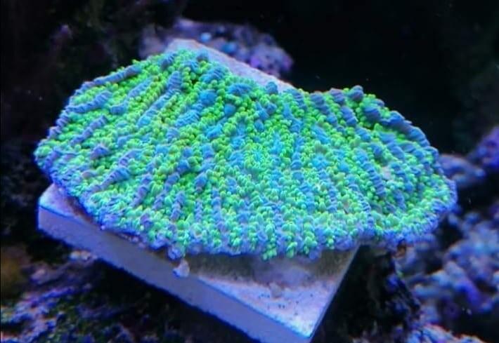 Jason Fox Limelight Hydnophora