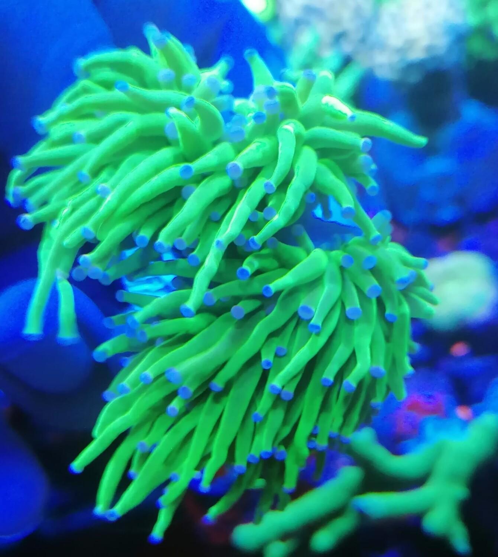 Euphillia Ultra green bleu tips 4 koppen