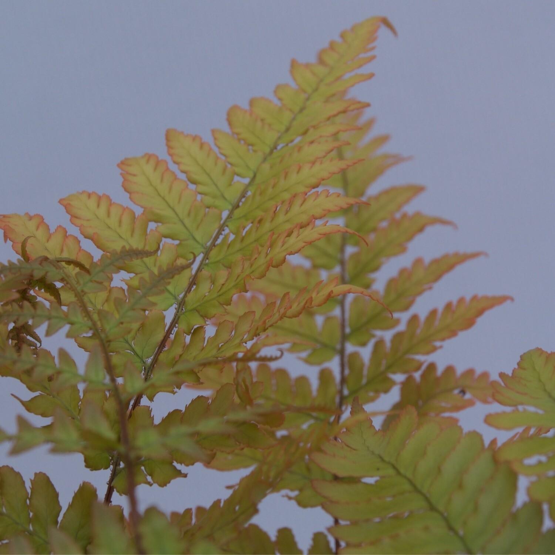 Fern Dryopteris Erythrosora 3L