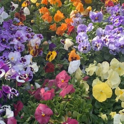 Primrose's Box 6 plants