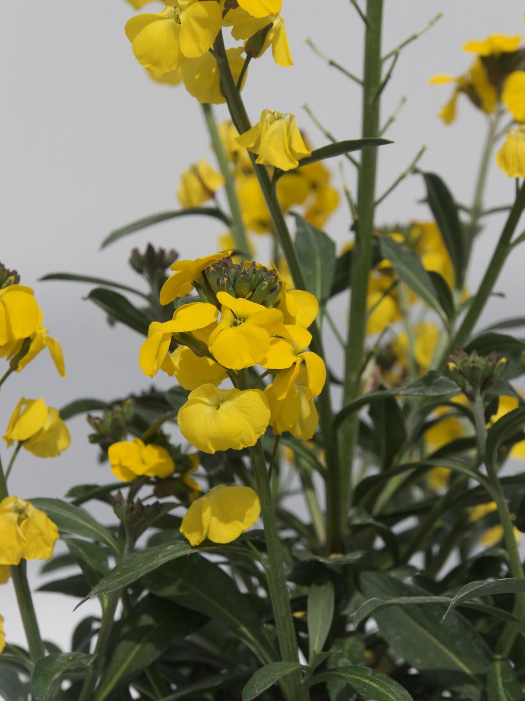 Erysiumum Fragrant Sunshine 3L