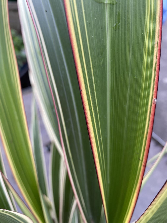 Phormium Hookeri Tricolor