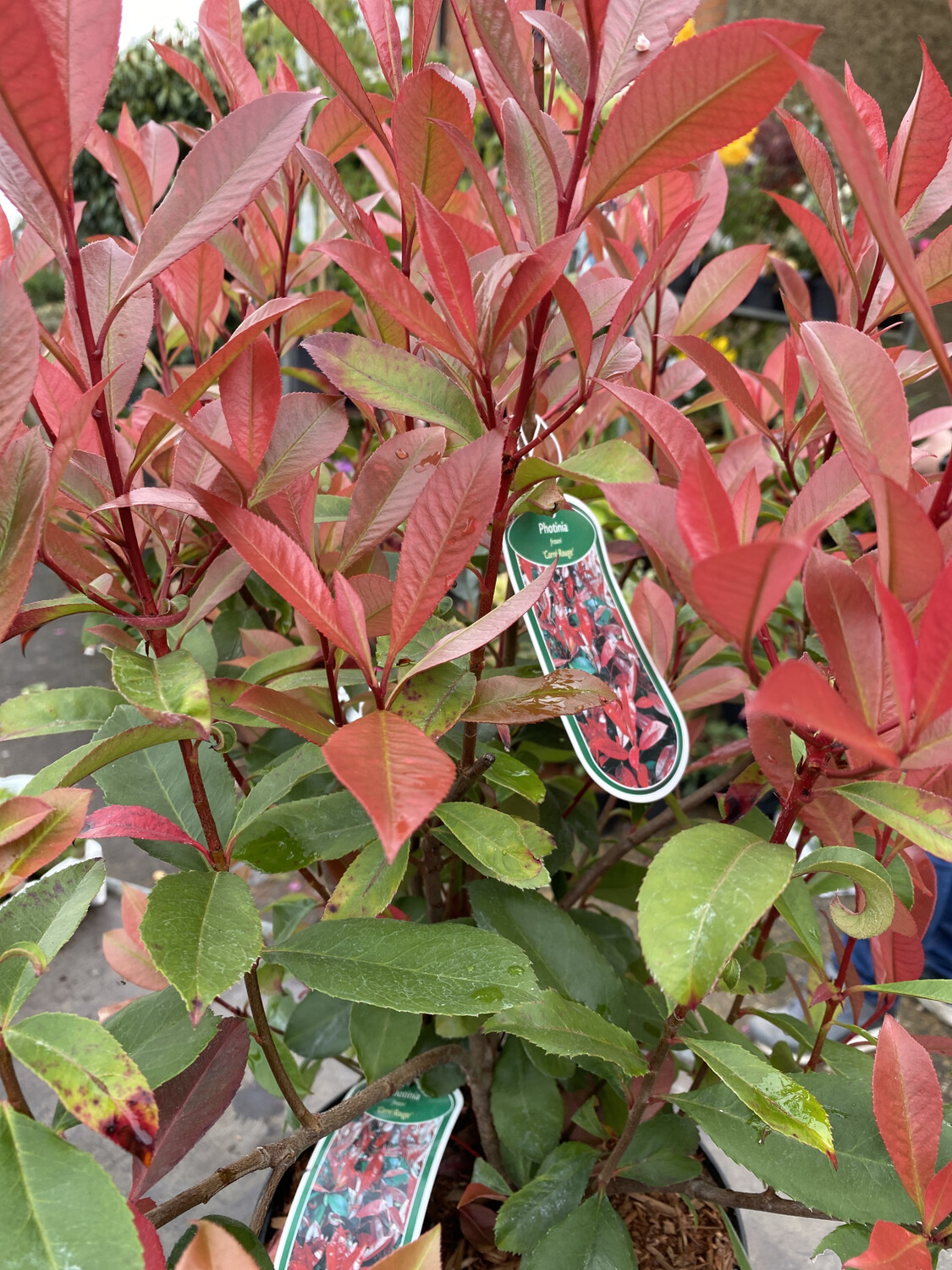 Photinia Carre Rouge 5l