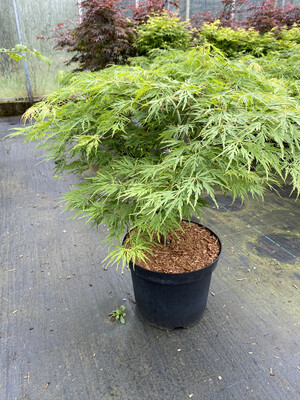 Acer Palmatum Dissectum 7.5l