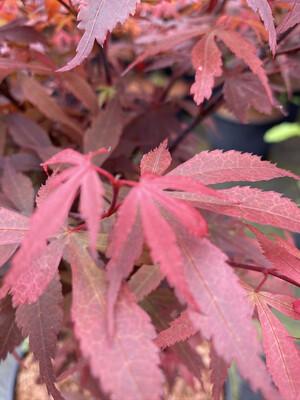 Acer Palmatum Skeeters Broom 10l