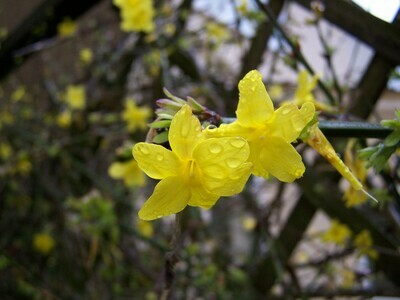 Jasminum Nudiflorum 4L