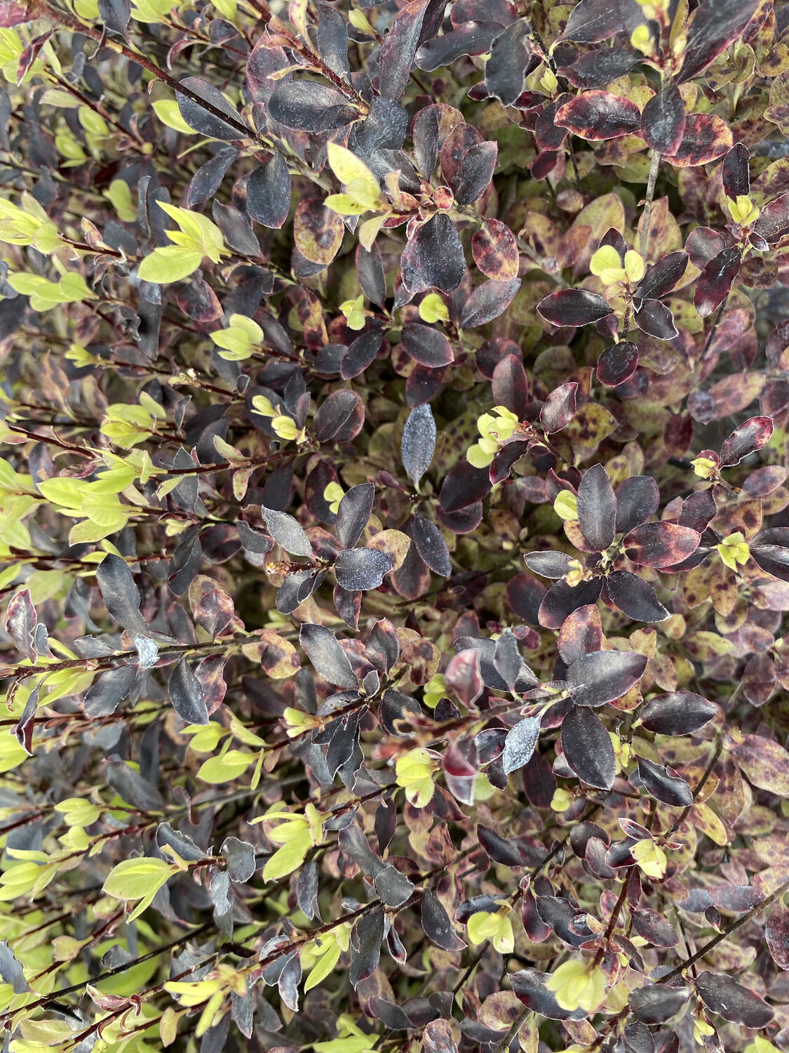 Pittosporum Tom Thumb