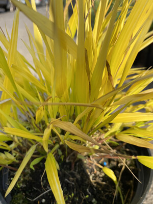 Grass Hakonechloa Macra 'All Gold'