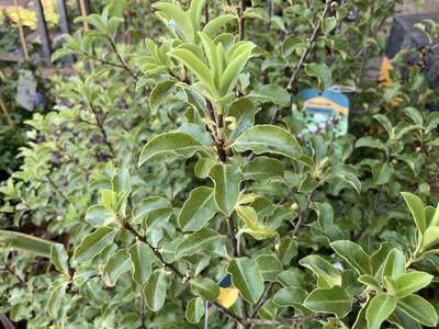 Pittosporum Tenuifolium Arundel Green 10L