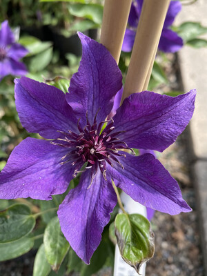 Clematis Guiding Promise