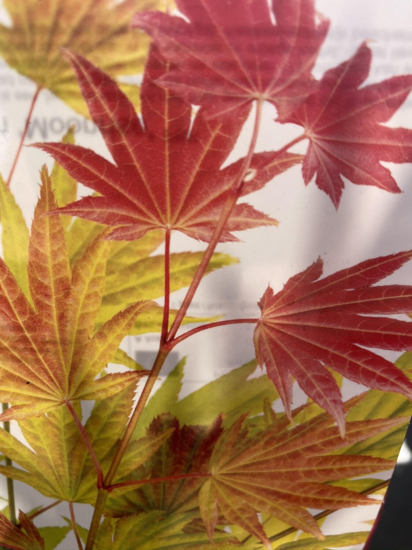 Acer Palmatum Moonrise 3l