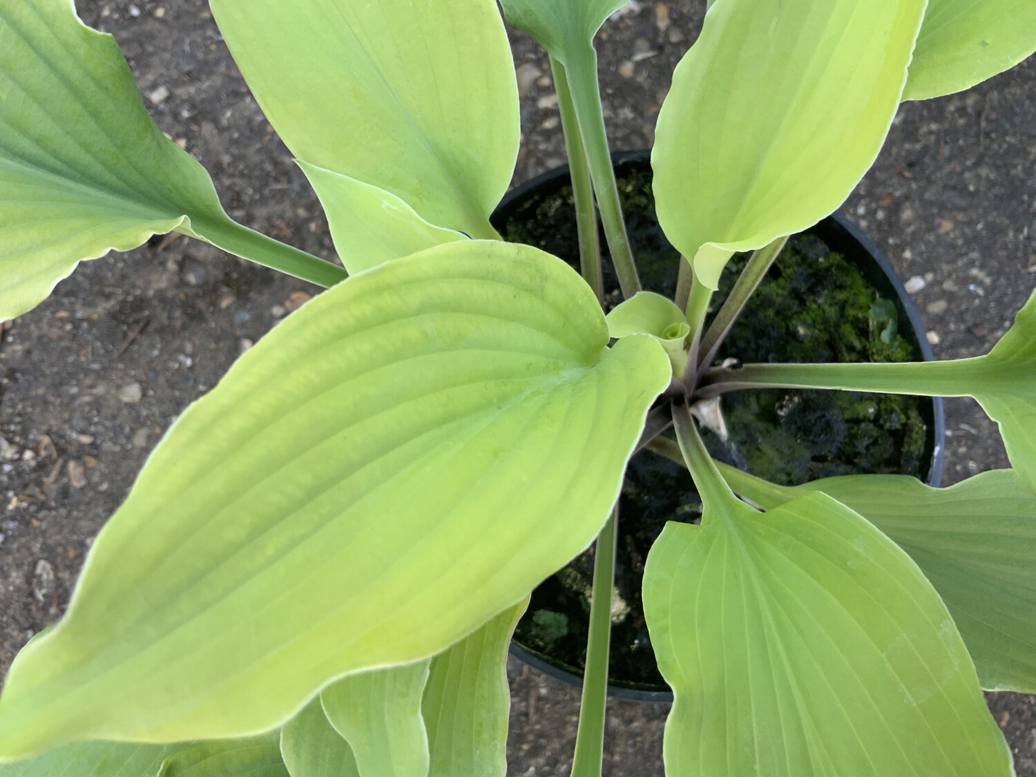 Hosta Marrakeeh 2l