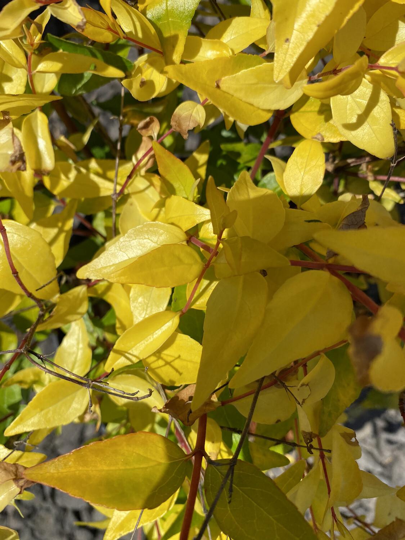 Abelia X grandiflora 'Francis Mason' 3L