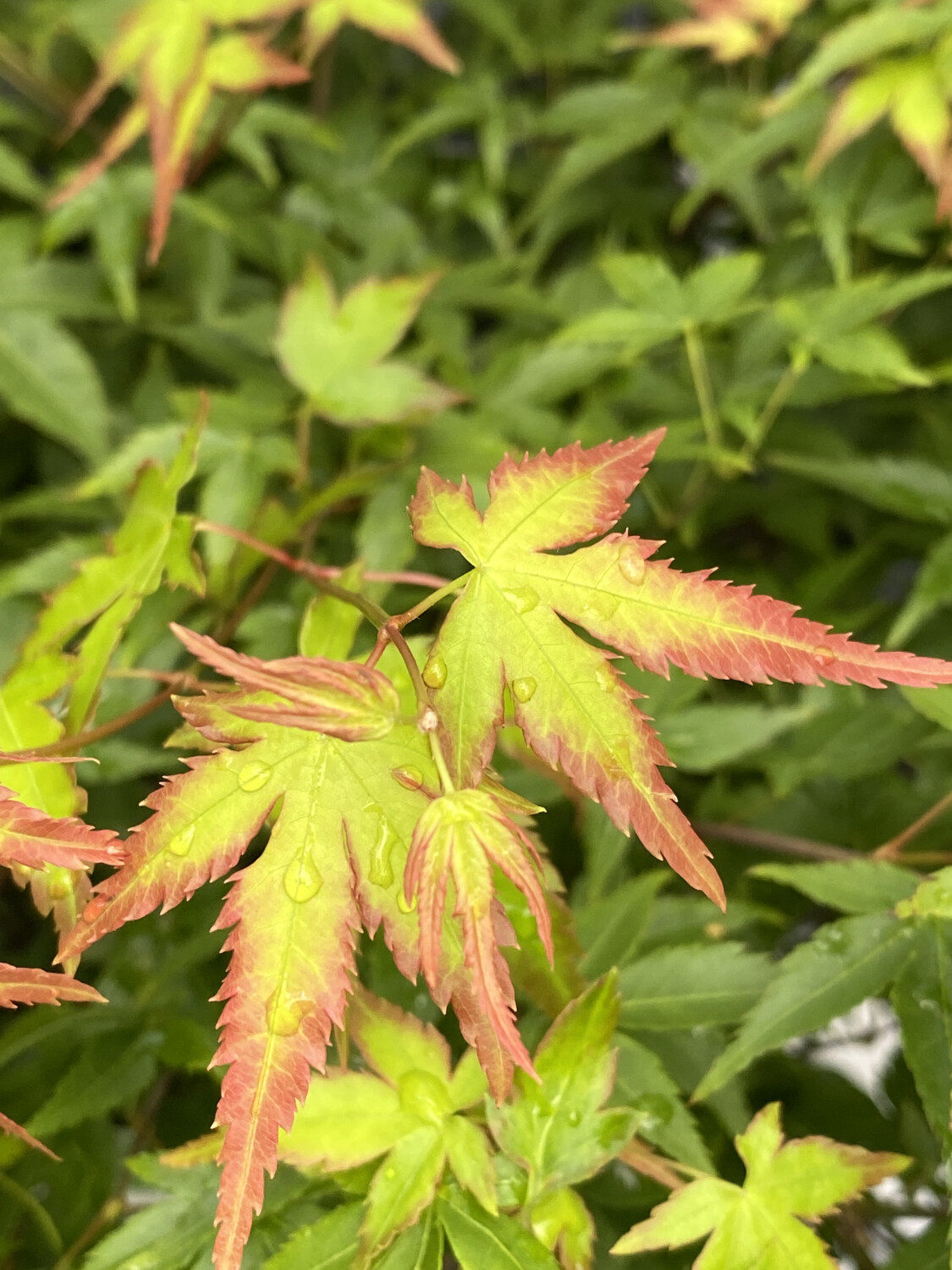 Acer Palmatum Little Princess 3l