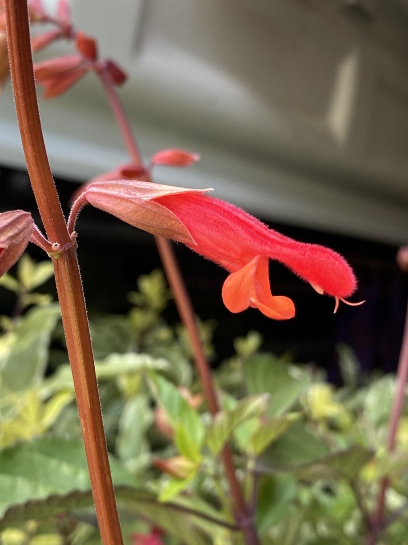 Salvia Embers Wishes