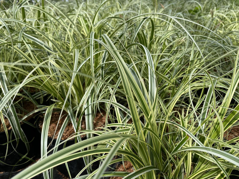 Grass Morrowii Carex Vanilla Ice 3l