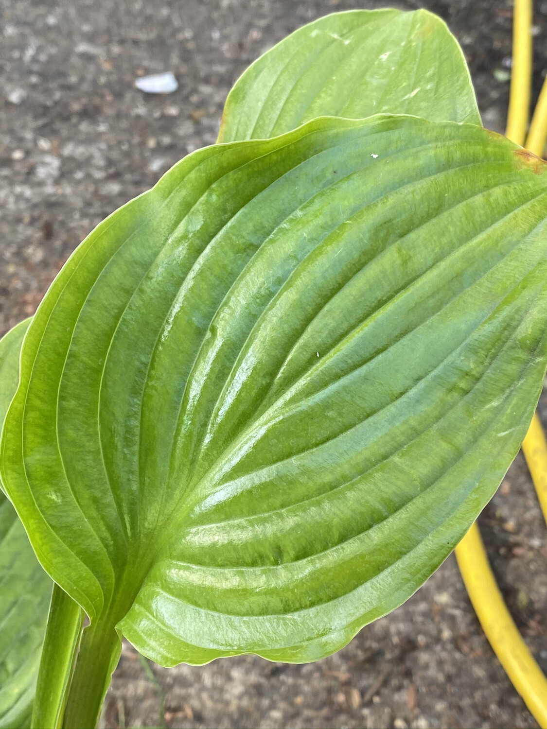 Hosta Plantaginea 1.5L