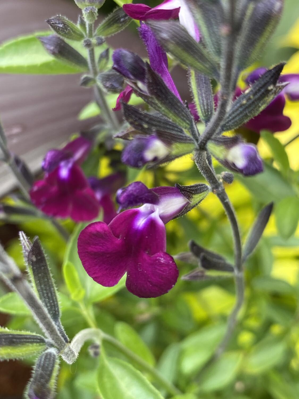 Salvia Gl Artic Blaze Purple