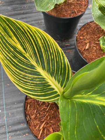 Canna Tropicanna Gold 3l