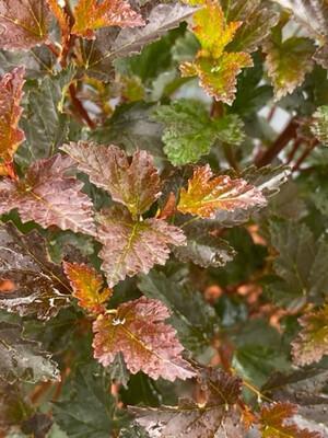 Physocarpus Opulus Tiny Wine 3l