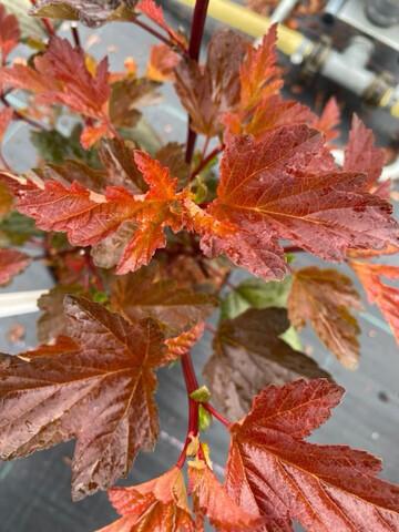 Physocarpus Diabolo