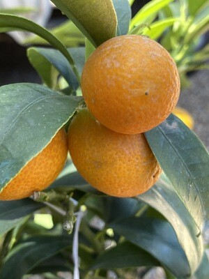 Citrus Fortunella Margarita 'Kumquat'