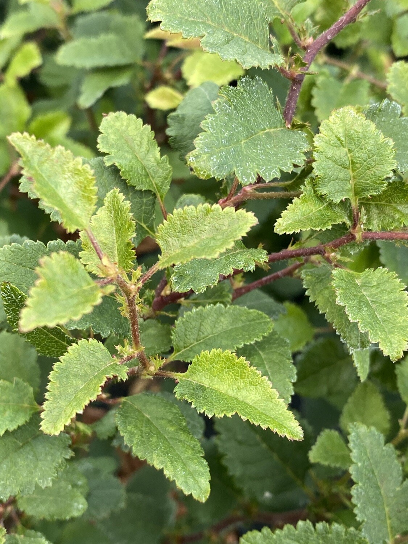 Prunus inc. Kojo-No-Mai