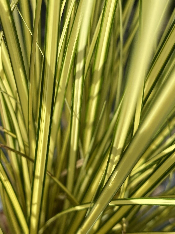 Grass Carex brunnea Jenneke