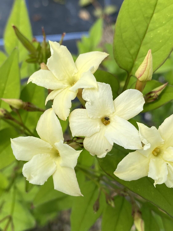 Jasminum Officinale Clotted Cream