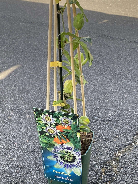 Passiflora Caelulea