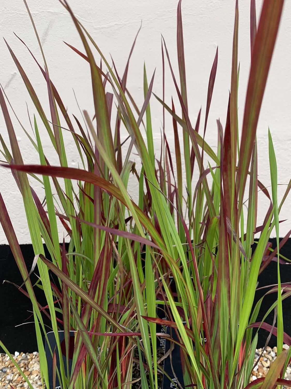 "Grass Imperata Cylindrica ""Red Baron"" 3L"