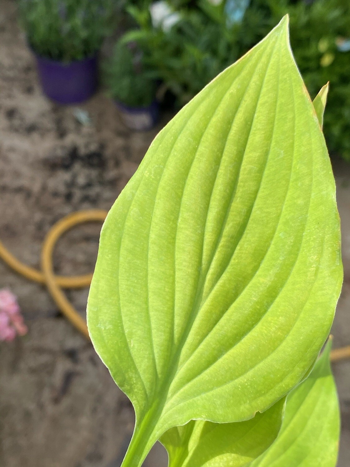 Hosta Royalty 1L