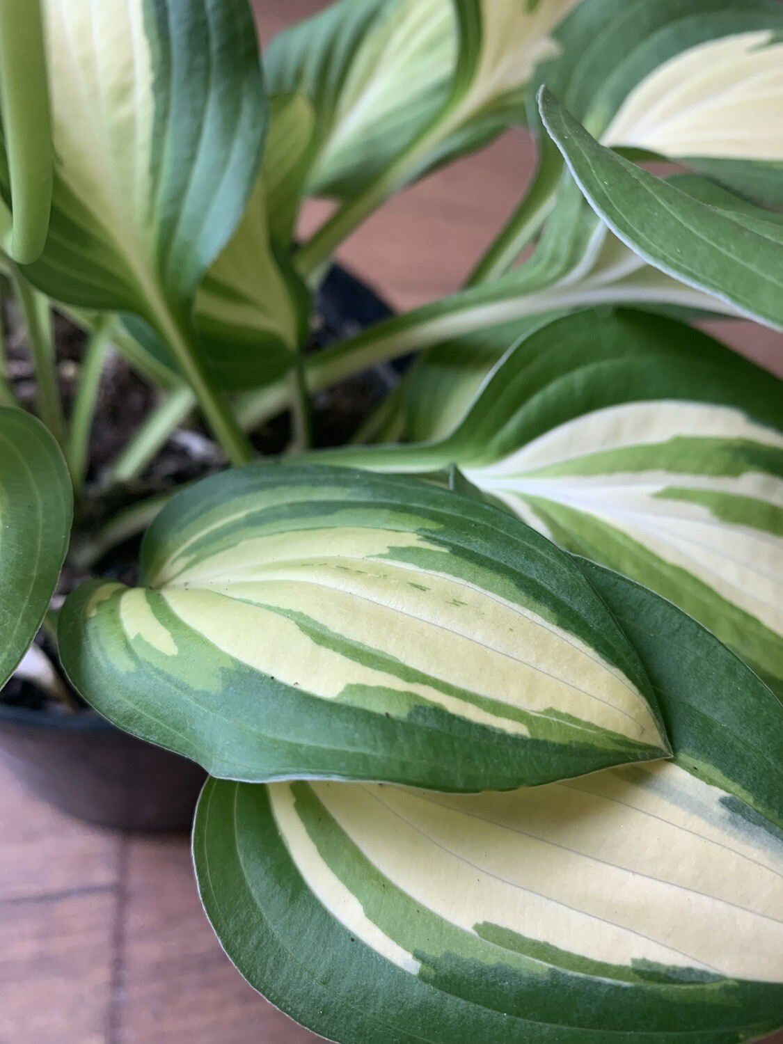 Hosta Lakeside Spellbinder  1.5l