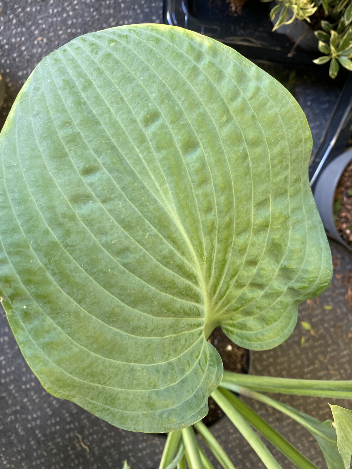 Hosta Wheaton Blue 1.5L