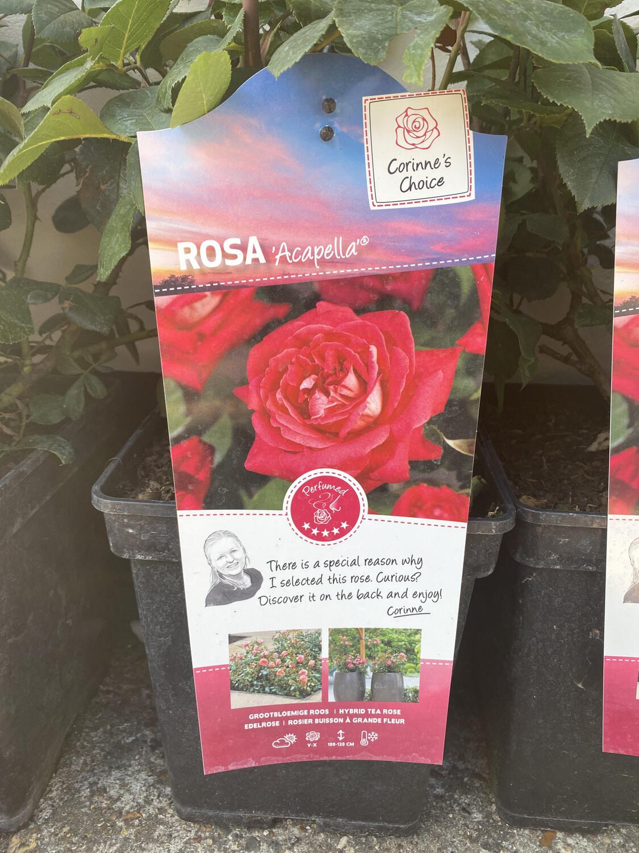 Rosa Acapella, Bush Rose  (Large)