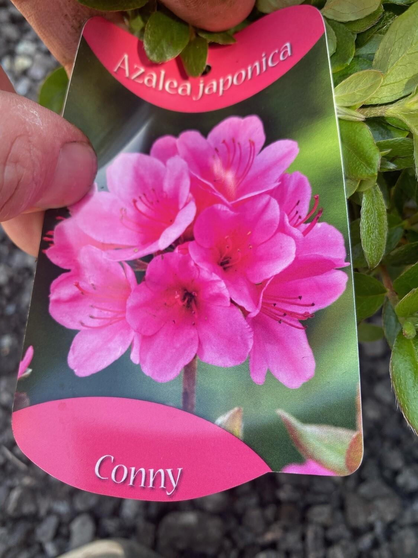 "Azalea Japonica ""Conny"""