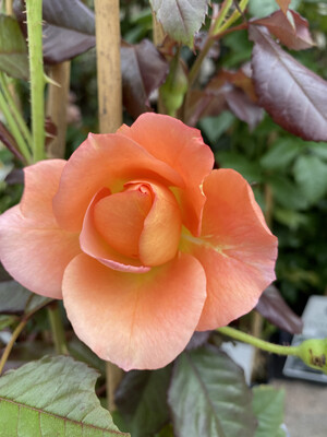 Climbing Rose Westerland