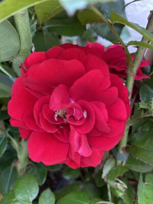 Climbing Rose Amadeus
