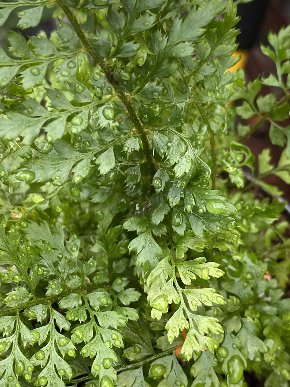 Fern Polystichum setiferum Prolieferum