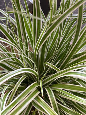 Grass Carex Oshimensis Everest 3L