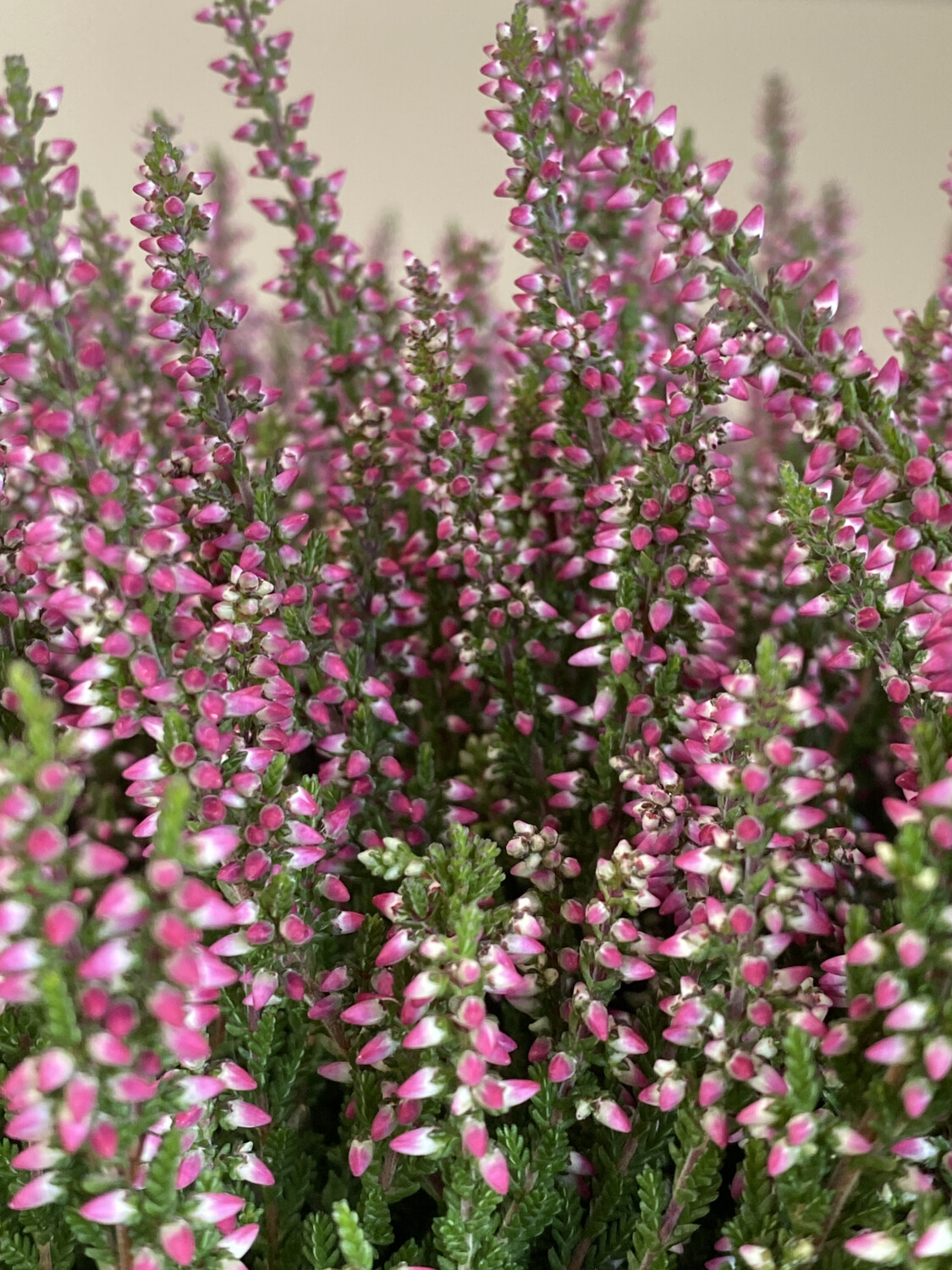 Heather Calluna Vulgaris Pink 9cm