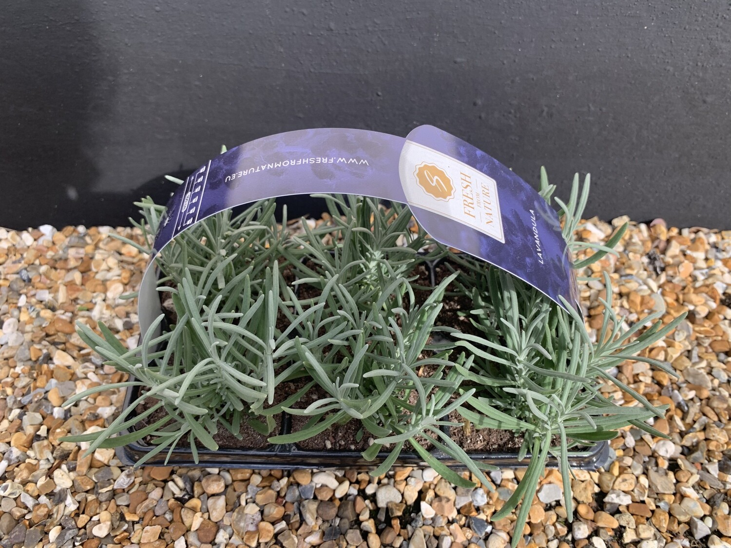 Lavender angustifolia Carry pack 6 pots