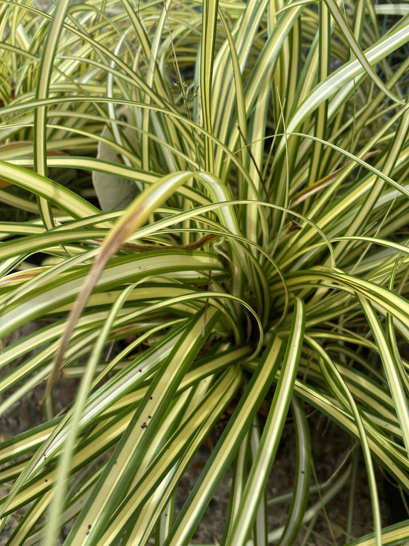Grass Carex Oshimensis Evergold 3L