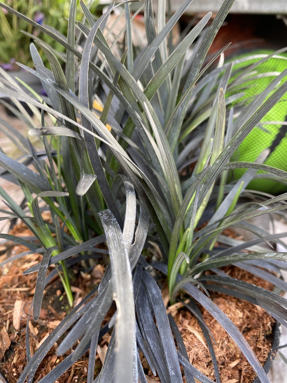 Grass Ophiopogon planiscapus 'Nigrescens' 3L